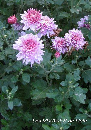 chrysanthemum x morifolium - photo #13